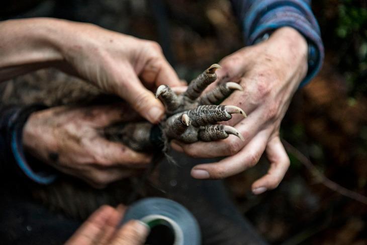 NRH - kiwi conservation 1
