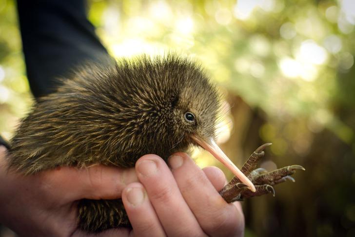 NRH - kiwi conservation 5